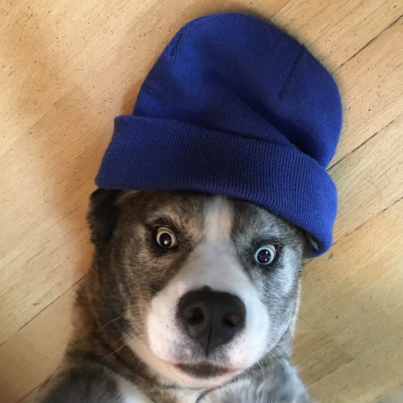 Our office dog, looking quite surprised while seemingly wearing a blue beanie hat