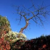 Hecke mit roten Weinblättern, ein abgestorbener Baum, vor blauem Himmel