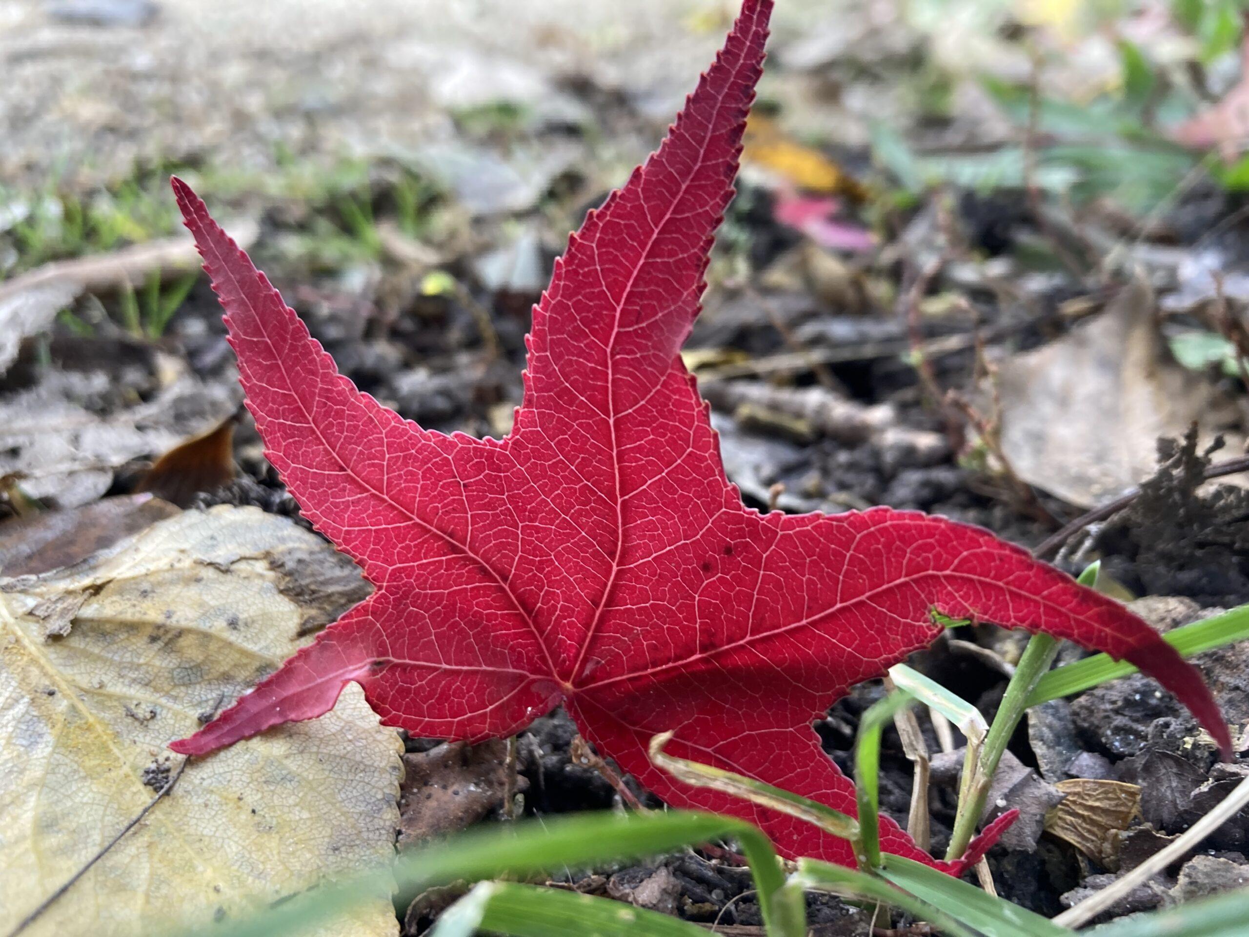 Leuchtend rotes Blatt am Boden